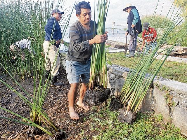 El proyecto de repoblación de tul comenzó ayer en Santiago Atitlán y San Marcos La Laguna, Sololá. (Foto Prensa Libre: Ángel Julajuj)