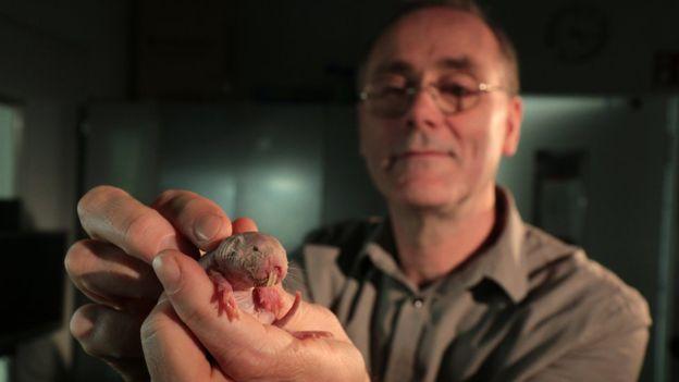 Los ratopines rasurados sobrevivieron en condiciones que matarían a otros mamíferos y a los seres humanos. (PA).