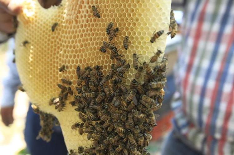 La abeja reina es la única hembra fértil del enjambre. Se encarga de poner dos mil huevos al día. Las abejas nacen 20 días después de fecundado el huevo y viven unos dos meses. (Foto Prensa Libre: Carlos Hernández)