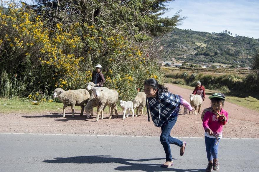Uno de los momentos más agitados para un pastor es cuando debe guiar a su rebaño en un cruce de carretera. Foto Prensa Libre: Roberto Villalobos Viato.