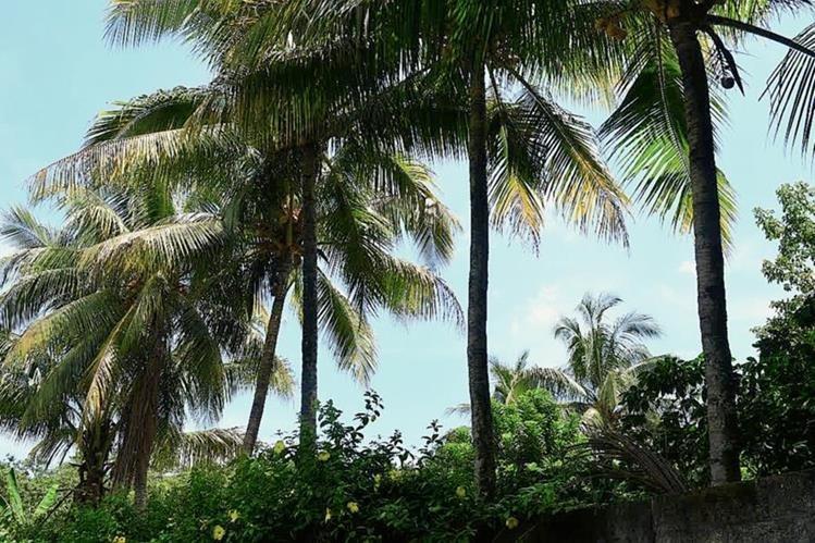 Vecinos afirman que rbol de coco est encantado - El arbol encantado ...