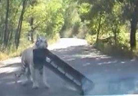 Un tigre atacó un automóvil de turistas y se llevó el defensa delantera del vehículo.