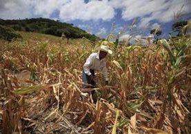 Muchas personas del corredor han perdido sus cosechas a causa de la sequía prolongada. (Foto Prensa Libre: Hemeroteca PL).