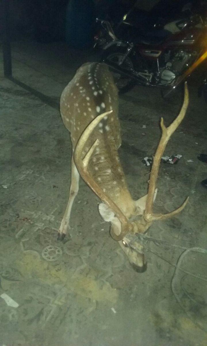 El animal fue examinado por un médico veterinario y entregado a autoridades. (Foto Prensa Libre: Cortesía)