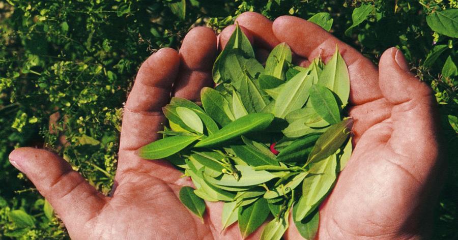 Estudio propone quitar el amargor del chocolate con hojas de coca, en lugar de azúcar.
