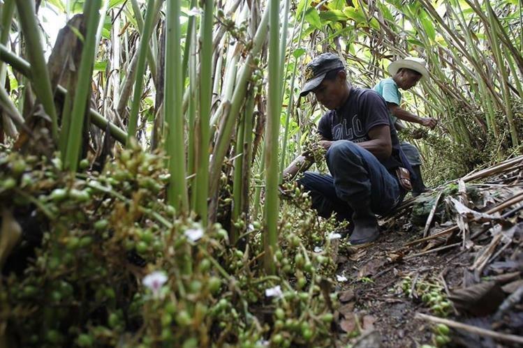 El cardamomo producido en el norte del país es el principal producto que Guatemala vende a los países árabes. (Foto Prensa Libre: Hemeroteca PL)
