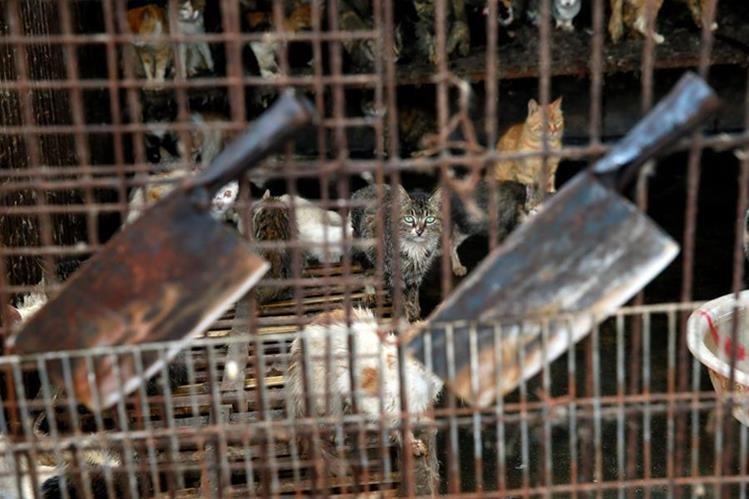 Policía china evita que 500 gatos terminen cocinados en restaurantes