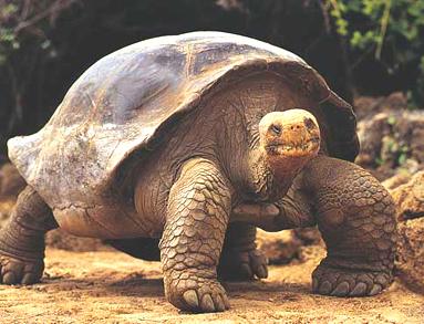 La tortuga de las Galápagos, criatura de lento movimiento, vista por Charles Darwin. (Foto: internet).