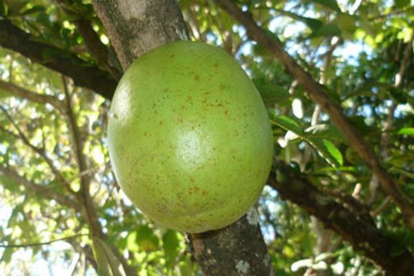 <p>El jícaro o morro fue domesticado y cultivado en Mesoamérica y el Caribe por grupos prehispánicos. (Foto Prensa Libre: Archivo)<br></p>