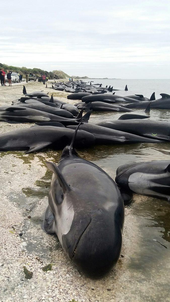 Voluntarios de Nueva Zelanda formaron una cadena humana para tratar de salvar a las ballenas.(AP).