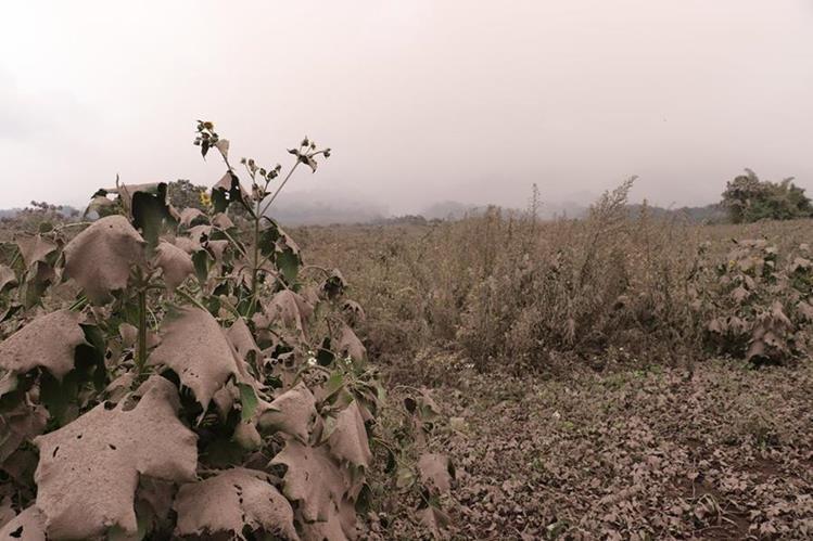 Áreas de cultivo fueron cubiertas por la ceniza que cayó el viernes último en Panimaché 1 y 2, San Pedro Yepocapa, Chimaltenango. (Foto Prensa Libre: Víctor Chamalé)
