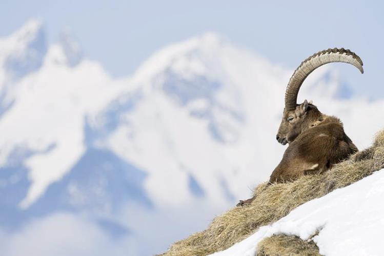 La senderista se apartó para observar cabras, en los Alpes fanceses. (Foto Prensa Libre: EFE)