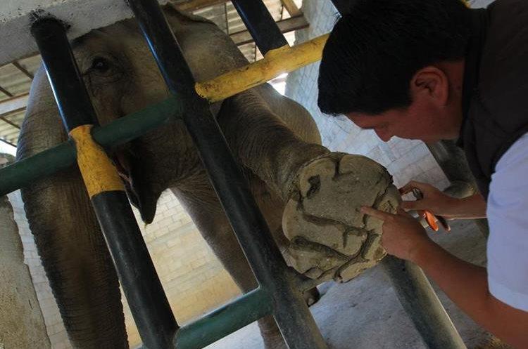Elefanta del Zoológico la Aurora recibe cuidados especiales