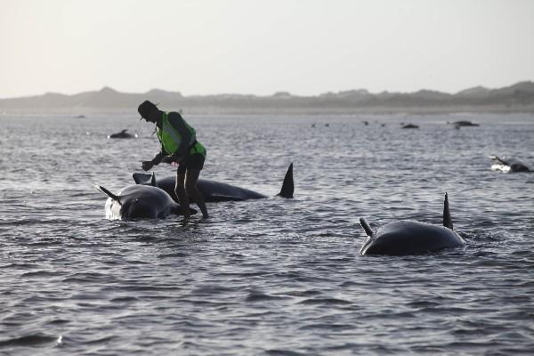 Un conservacionista ayuda a una ballena varada en Farewell Spit, un lugar famoso por varamientos de ballenas, en Golden Bay, de Nueva Zelanda. (Foto Prensa LIbre: AP)