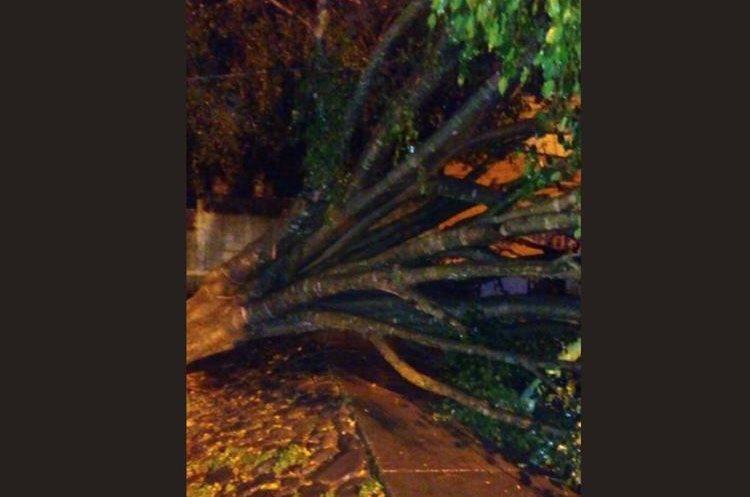 Árbol caído en la colonia San Rafael, zona 18. (Foto Prensa Libre: Rodas Bren).