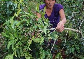 Los resultados de la investigación sugieren que las pequeñas áreas que en el futuro serán más aptas para este cultivo estarán en zonas elevadas. (Foto Prensa Libre: Hemeroteca)