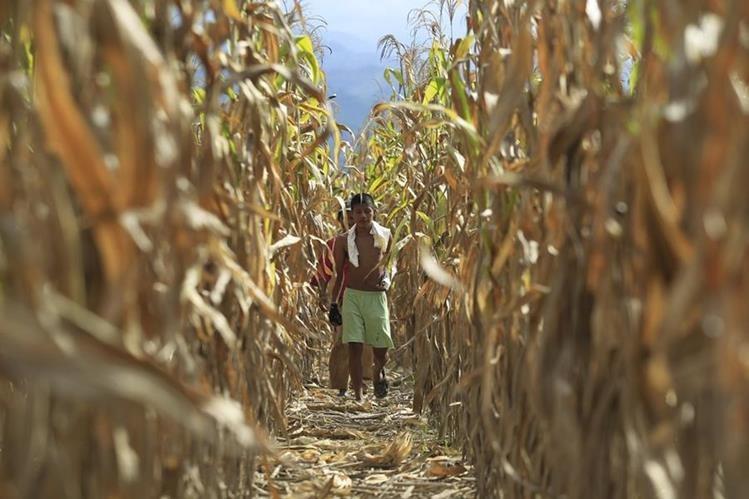 La pérdida de cosechas en Guatemala pueden atribuirse a fenómenos derivados del cambio climático. (Foto Prensa Libre: Hemeroteca PL)