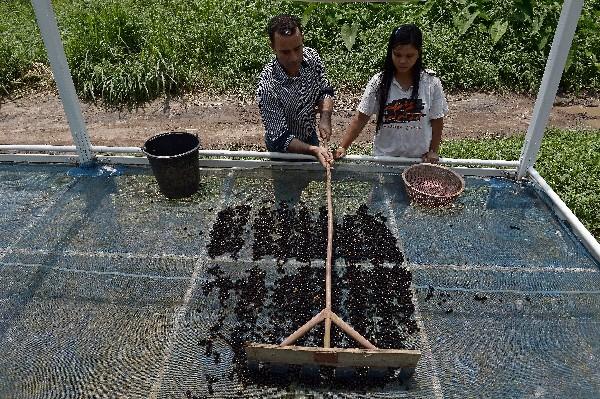 Granos de café son puestos al sol. (Foto Prensa Libre: AFP)