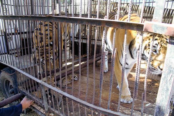 Los animales en los circos suelen vivir enjaulados, lo cual es criticado por organizaciones civiles. (Foto Prensa Libre: HemerotecaPL