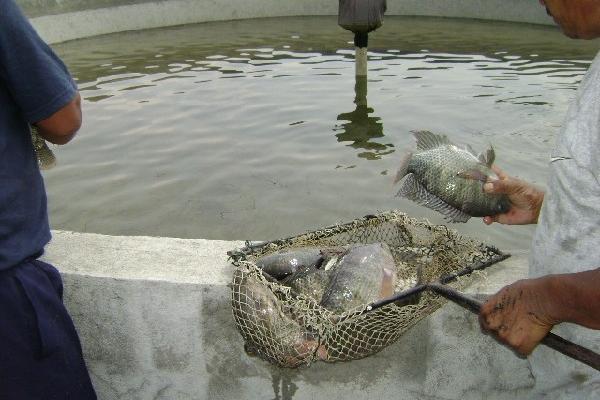 Usan laguna como vivero for Criadero de pescado tilapia