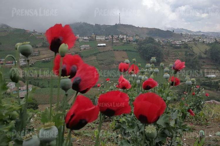 Los cultivos de amapola pueden observarse en muchas fincas, tanto de Ixchiguán como de Tajumulco, San Marcos. (Foto Prensa Libre: E. Paredes. Enviado especial)