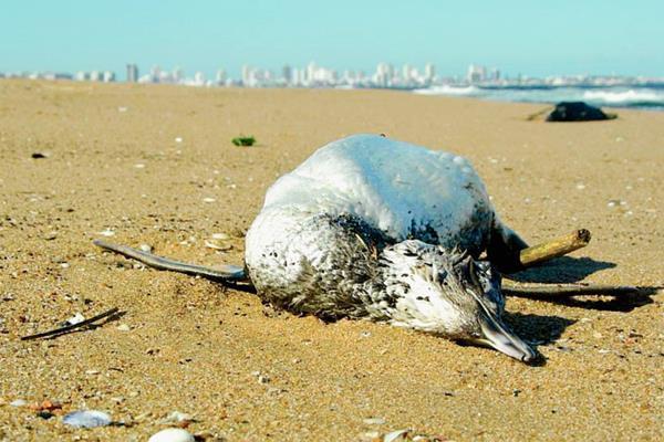 Un pingüino yace en las costas de las playas uruguayas. Las autoridades investigan la muerte masiva de estas aves y otros animales en menos de tres días. (Foto: Ricardo Figueredo, Información).