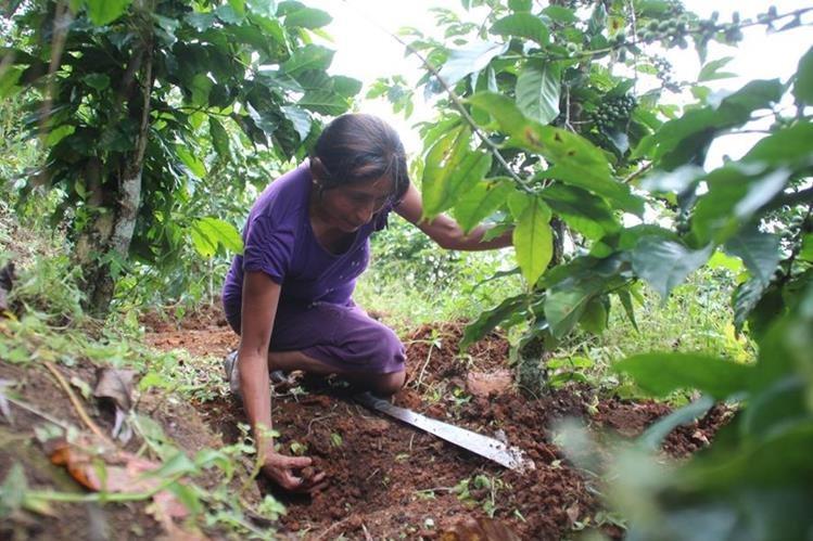 Flora Ramos, durante su trabajo diario en la siembra y cultivo de café. (Foto Prensa Libre: Mike Castillo)