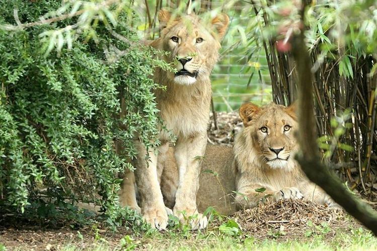 """""""Motshegetsi"""" (izq.) fue sacrificado por personal del zoológico mientras que su compañero """"Majo"""" (der.) fue devuelto a su jaula. (Foto Prensa Libre: AP)."""