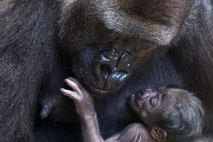 Cuatro de cada seis grandes simios de la Tierra están en grave peligro, señala informe. (Foto Prensa Libre: EFE)