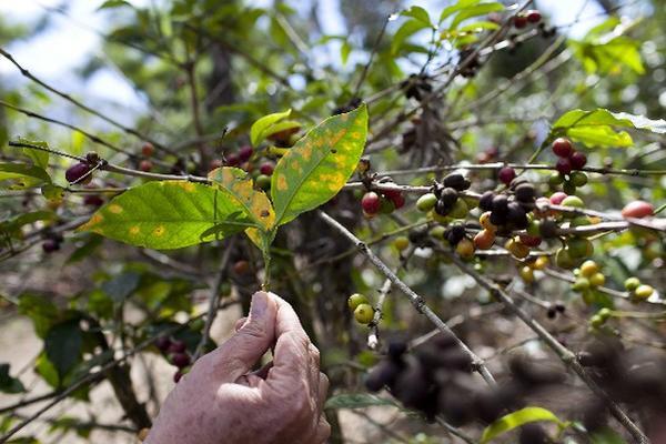 Las áreas  cafetaleras peligran debido a las consecuencias de una crisis económica derivada del ataque de la roya a las plantaciones del grano.
