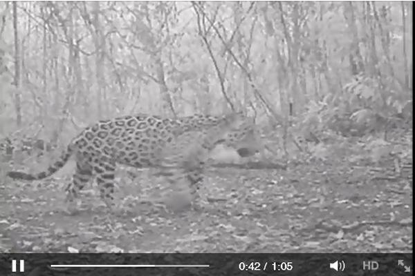 <p>Imágenes que muestran a un jaguar en su hábitat natural. (Foto Prensa Libre: INTERNET).</p>