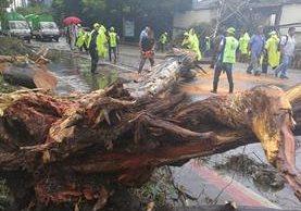 Personal de la municipalidad debió cortar el árbol en varias partes para removerlo.(Foto Prensa Libre: Esbin García)