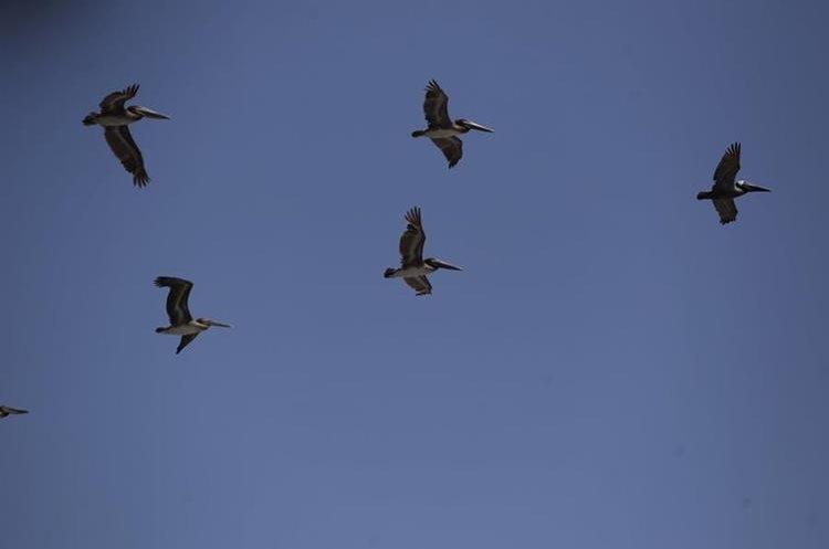 Las aves sobrevuelan el mar en búsqueda de alimento. (Foto Prensa Libre: Carlos Hernández)
