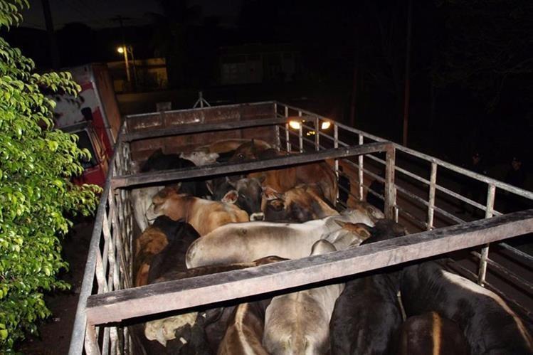 Camión y 26 reses con reporte de robo fueron decomisados en La Libertad, Petén. (Foto Prensa Libre: Manuel Romero)