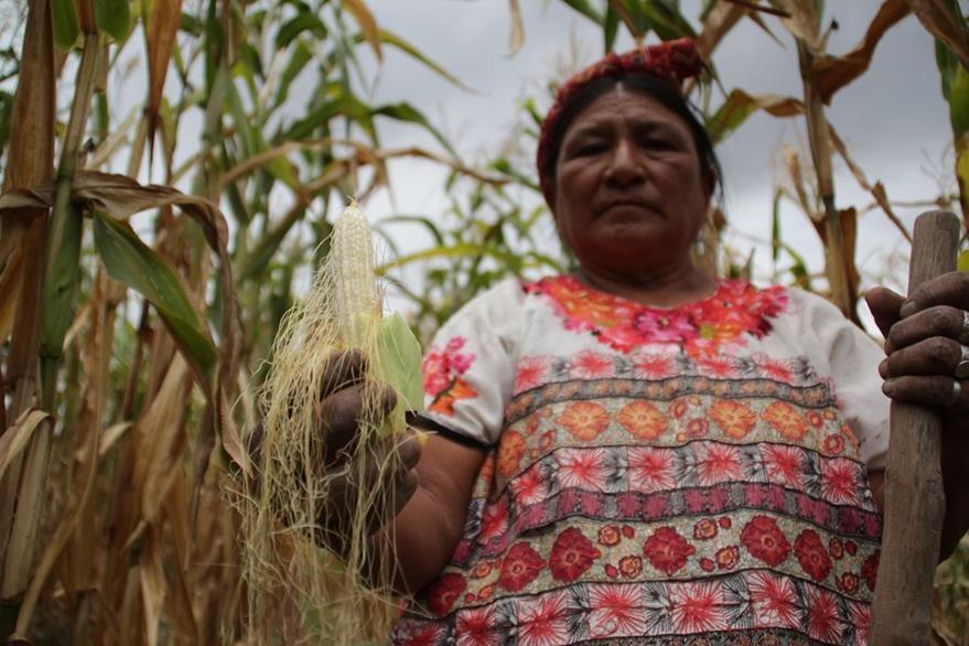 En Huehuetenango el maíz no logró desarrollarse, por la   falta de  lluvia. (Foto Prensa Libre: Mike Castillo)