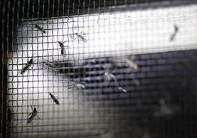 El zancudo transmisor del zika Aedes Aegypti tiene un periodo de vida estimado de 20 días. (Foto Prensa Libre: Edwin Bercián)