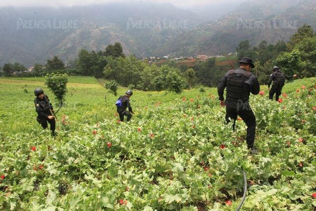 Las autoridades aseguraron que tienen seis o siete puntos identificados donde proliferan los cultivos de amapola. (Foto Prensa Libre: Estuardo Paredes / enviado especial)