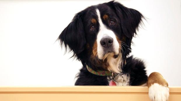 Perros pueden olfatear algunos padecimientos. (Foto Prensa Libre: HemerotecaPL)