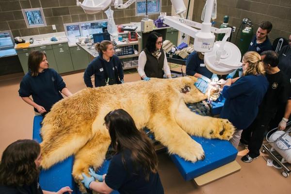 Boris es un oso polar que vive en el acuario de Tacoma en Washington. (Foto Prensa Libre: AP)