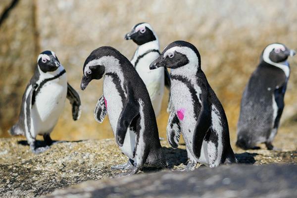El pingüino africano es una de las especies amenazadas. (Foto Prensa Libre: EFE)