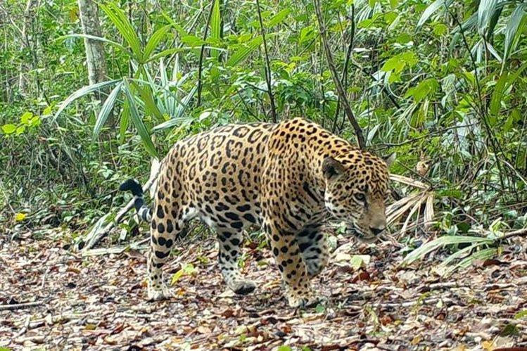 En la foto, uno de los jaguares que es monitoreado por organizaciones y autoridades en el parque Mirador Río Azul, Petén.