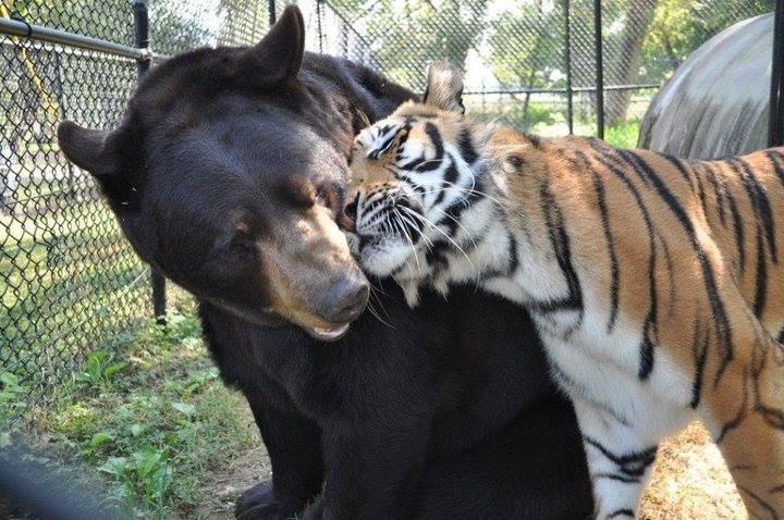 Shere Khan (tigre) demuestra su cariño a Baloo (oso). (Foto Prensa Libre: Noah