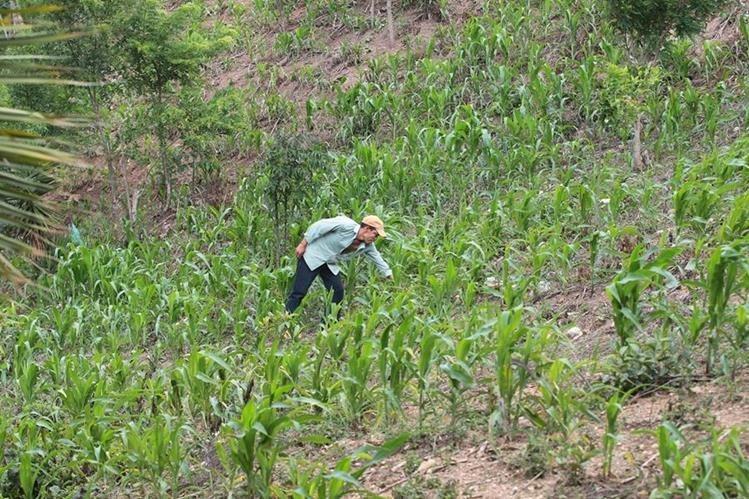 Productividad de granos básicos durante el 2015 no registró aumento considerable. (Foto Prensa Libre: Hemeroteca)
