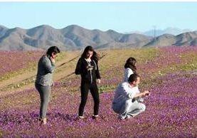 Turistas nacionales y extranjeros visitan Atacama, para presenciar extraño fenómeno.