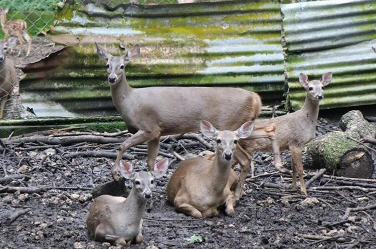 Mamíferos como los venados, principalmente las crías, también son víctimas de tráfico. Los adultos son cazados de manera ilegal.  (Foto Prensa Libre: Rigoberto Escobar)