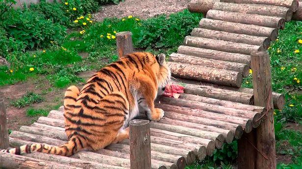 Un tigre ataca a su cuidadora en un zoológico