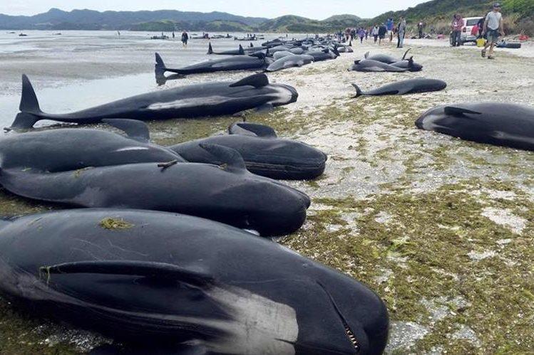 Unas 300 ballenas piloto murieron en Farewell Spit, Nueva Zelanda.(Foto Prensa Libre:AFP).