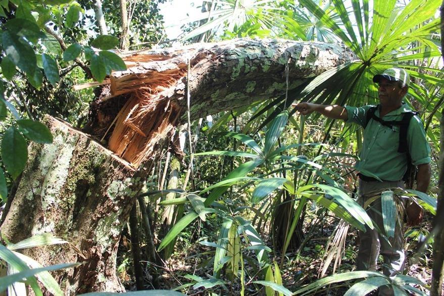Un concesionario muestra uno de los árboles derribados en la zona de adyacencia. (Foto Prensa Libre: Rigoberto Escobar)