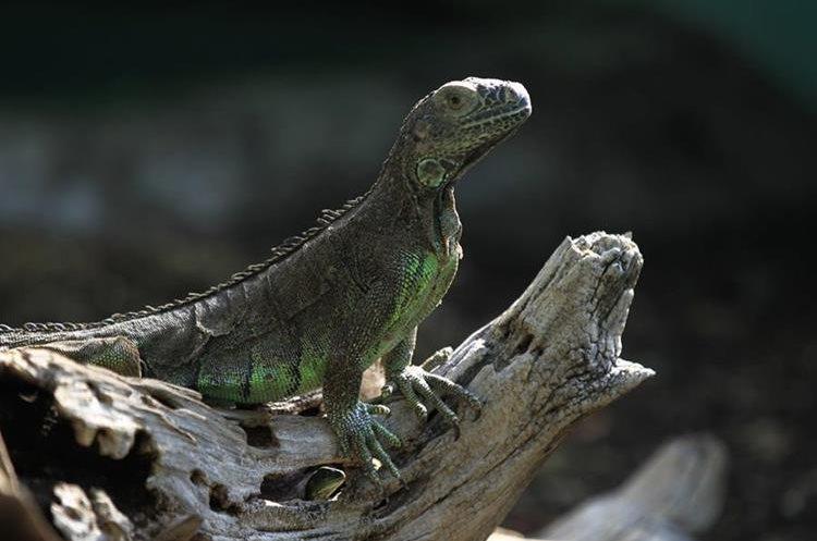 Iguanas verdes son protegidas en el tortugario de Monterrico.(Foto Prensa Libre: Carlos Hernández)