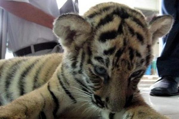 <p>Cachorro de tigre fue retenido en comisaría paraguaya. (Foto Prensa Libre: Archivo)</p>